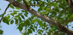 Doodsbeenderenboom   Gymnocladus dioica