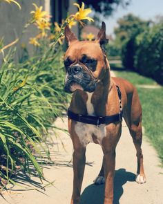 😍#BoxerPuppy #Boxer #AKC #akcboxer #puppyintraining #puppylove #boxerlover #boxerintraining #boxerbreed #boxersofinstagram Boxer Dog Breed, Dog Breeds, Boston Terrier, French Bulldog, Pets, Animals, Instagram, Building Information Modeling, Animales