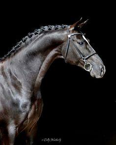 Devon Heir, Hanoverian Stallion