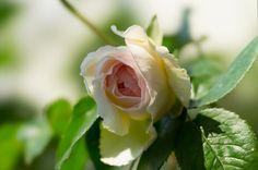 のんくり日和: 【バラ】ボレロは後世に残るバラだと思う  (via http://non-kuri.blogspot.com/2013/05/blog-post_14.html )