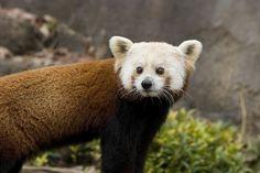 Grab the tissue box: National Zoo's Red Panda Shama Dies | Local News | Washingtonian