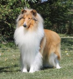 Stunning sable rough collie!!!