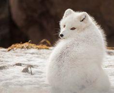 Arctic Fox Adaptations | Habitat and Behavior Arctic Fox Adaptations, Fox Eat, Fox Species, Fox Information, Arctic Tundra, Seal Pup, Red Fox, Predator, Polar Bear