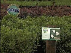 Frostproof Gardenias  The LSU AgCenter introduces various super plants throughout the year. Super plants are superior plants for Louisiana landscapes. On this edition of Get It Growing, LSU AgCenter horticulturist Dan Gill introduces you to the fragrant Frostproof gardenia. It's a Super Plant with a super smell.