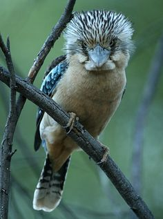 Blue-winged Kookaburra (Dacelo leachii). A large species of kingfisher native to northern Australia and New Guinea. photo: Greg Miles.