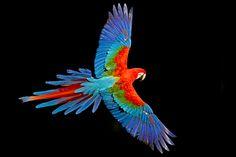 Foto arara-vermelha-grande (Ara chloropterus) por Ciro Albano | Wiki Aves - A Enciclopédia das Aves do Brasil
