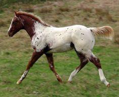 Appaloosa foals at Sparkling Acres Appaloosa Stud - New Zealand - Skip's Daytona Sunrise