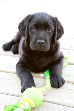 cute labrador puppy