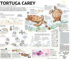 La tortuga carey está en extinción.