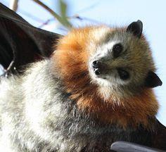 bat-what a beautiful face!