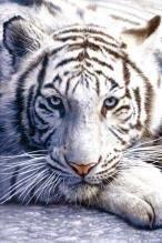 NAT35689 White Tiger