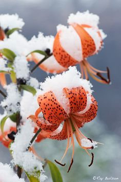 First snowfall in Eagle River, Alaska, covers late blooming Tiger Lillies.  ak2475_ASONP