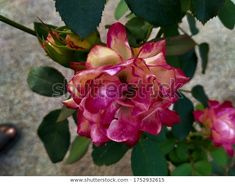 Find Pink Rose Flower Hanging Branch stock images in HD and millions of other royalty-free stock photos, illustrations and vectors in the Shutterstock collection.  Thousands of new, high-quality pictures added every day. Pink Rose Flower, Nature Photos, Photo Editing, Vectors, Royalty Free Stock Photos, Illustrations, Artist, Flowers, Plants