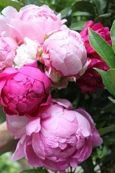 peonies - these grew in our yard growing up, white, pink and dark pink. they were always in bloom for my birthday and my birthday dinner always included a bouquet of them. that smell is among my favorite things on earth!