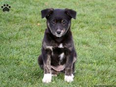 Pat, Border Collie Mix Puppy For Sale from Rebersburg, PA