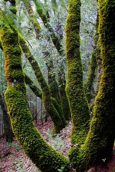 90377: Moss covered trees. North Fork of the American River...