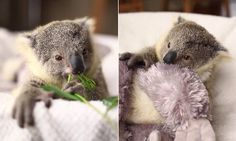 Adorable video of Imogen, a koala joey, has been released to celebrate her coming first birthday at the Symbio Wildlife Park in Helensburgh, south of Sydney. Imogen was hand raised by two zookeepers.