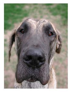 I can be your prince… lovable Great Dane