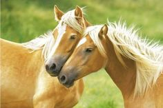 'Horses (Blondes)'