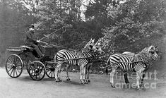 "Lord Lionel Walter Rothschild (1868-1937), British zoologist, driving a carriage drawn by three zebra and a horse. - photograph by Science Photo Library, via FineArtAmerica;  ""Rothschild famously drove his zebra carriage to Buckingham Palace to prove that zebras could be tamed. Rothschild, heir to a large fortune, founded his zoological museum in 1892, at Tring, Hertfordshire, UK."" The museum is now known as the Natural History Museum at Tring."