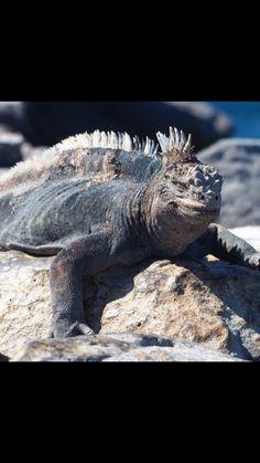 A Marine Iguana from The Galápagos Islands