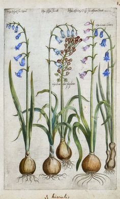 Emanuel Sweert - Hyacinthus -  1612.
