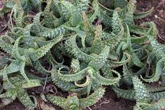 Aloe Squarrosa is endemic to Socotra Island, Yemen, growing in rocky areas. Young plants may be confused with Aloe Juvenna, since both species have white-spotted, bright green leaves. Squarrosa, however, is a rock climber with long, recurved leaves that feel smooth to the touch.