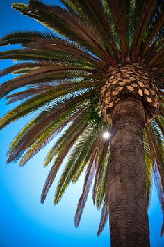 Looking Up at  Palm Tree, San Diego, CA