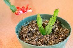 The Best Method for Propagating Christmas Cactus From Cuttings | eHow