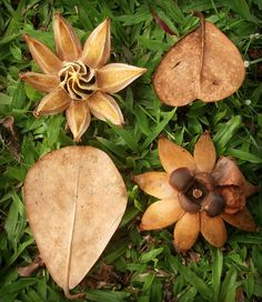 Autograph Tree (Clusia rosea) leaves and pods, Hilo, Hawaii Hawaiian Plants, Hawaiian Flowers, Tropical Plants, Cactus Plants, Rock Garden Plants, Garden Types, Clusia, Platycerium, Plant Pictures