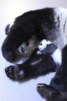 Giant panda mother Er Shun holds one of her twin cubs …