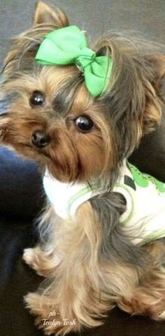 """Determine more info on """"yorkshire terrier dogs"""". Check out our site. Yorkies, Yorkie Puppy, Cute Puppies, Dogs And Puppies, Cute Dogs, Puppies Tips, Corgi Puppies, Animals And Pets, Baby Animals"""