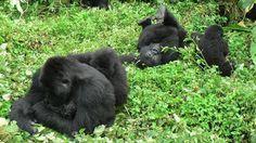 Familia de gorilas de montaña (Congo)