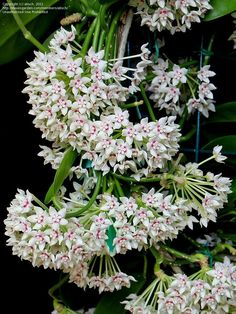 hoya australis/ wax plant