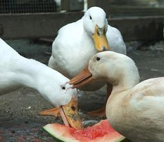Majestic Waterfowl Sanctuary - Articles: Sexing a Duck by the Sound of its Quack