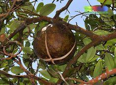 Nyireh bunga fruit (Xylocarpus granatum)