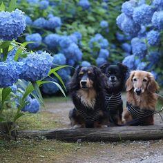 * 男鹿 雲昌寺… * このpicとっても気に入ってたのに、3匹ボケてる( ; ; ) * 紫陽花にピントが合ってました(涙) * カメラって難しいなぁ(/ _ ; ) * * いつも見ていただきありがとうございます。 * #ダックス#愛犬#犬#ダックスちゃん#短足部#dachs#dog#ダックスフンド#ダックスフント#多頭飼い#ワンコなしでは生きていけません会#犬バカ部#ワンコ#犬のいる生活#🐶#MDF48#GLD48#RED48#BLC48#リハビリ中#ヘルニア#食いしん坊犬部#超食いしん坊犬部#チワワ#雲昌寺#紫陽花#車中泊旅#sta車中泊旅