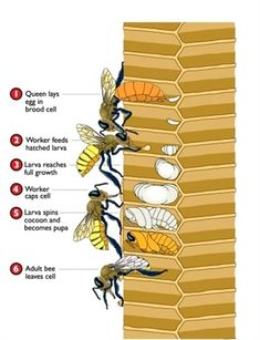 How Bees Develop - Bee development. Anatomy of a bee I Love Bees, Birds And The Bees, Bee Facts, Raising Bees, Worker Bee, Buzz Bee, Bee House, Backyard Beekeeping, Bee Friendly