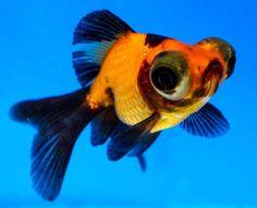 Shubunkin goldfish goldfish and chinese on pinterest for Blue ridge fish hatchery