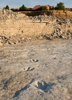"""Huge New Dinosaur Trackway Found in U. Spanning two football fields, the footprints of dinosaurs """"stomping in the mud"""" hint that a giant predator was a bit pigeon-toed. Dinosaur Tracks, Dinosaur Fossils, Dinosaur Age, Natural World, Natural History, Extinct Animals, Prehistoric Creatures, Fresco, Fauna"""
