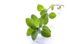 [ Info: Harvesting Oregano ] Pluck leaves individually as needed. Stems will be too woody for use. Dried oregano is much stronger tasting herb than the fresh. More info on growing oregano. ~ from Backyard Gardening Blog