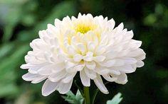White Chrysanthemum Flower Close Up Chrysanthemum Tea Benefits, Chrysanthemum Meaning, Green Flowers, White Flowers, White Mums, Birth Month Flowers, Flower Close Up, Flower Meanings, Flowers