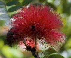 flower-red-Pua-Lehua