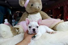 French Bulldog Puppies For Sale, dogs for sale Small Puppies For Sale, Teacup Dogs For Sale, Bulldog Puppies For Sale, English Bulldog Puppies, Tiny Puppies, Best Puppies, Cute Puppies, Cute Dogs, Little Dogs