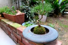 2015年12月11日(金)こんにちは。店先の花壇を植え替えるとき、おまけとして頂戴した「松の苔玉」。いわゆる「盆栽」というやつに全く興味がなかった自分ですが、器を用意して眺めていると引き込まれるというか...妙に落ち着きます。これって...もしかしてオッサンの始まり!?(笑)形を整えるための針金が窮屈そうだったり、どう手入れをしていったら良いのか疑問ばかり。ちょっと勉強してみようと思います(^^  それでは、今日も皆様にとって良い1日になりますように☆ 【加古川・藤井質店】http://www.pawn-fujii.jp/