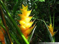 Balisier des Caraïbes, Heliconia caribaea : conseils de culture