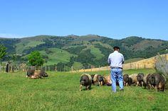 Pierre Oteiza et ses porcs basques