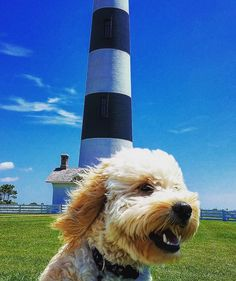 Today is #nationallighthouseday and we couldn't think of anything better than a cute pup in front of a lighthouse to share with y'all! @skipperdoodle7