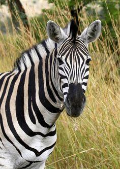 zebra photo | zebra - uludağ sözlük