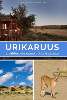 Urikaruus, a wilderness camp in the Kgalagadi Transfontier Camp, South Africa. Stay here for a unique experience in this quirky camp, where the Kalahari animals come visit all day and night. Best Places To Vacation, Fun Facts About Animals, Paradise Travel, Worldwide Travel, Africa Travel, Travel Usa, Wilderness, Family Travel, Adventure Travel